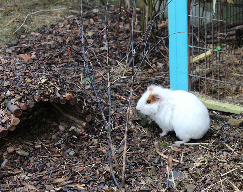 Prince and George Guinea pigs