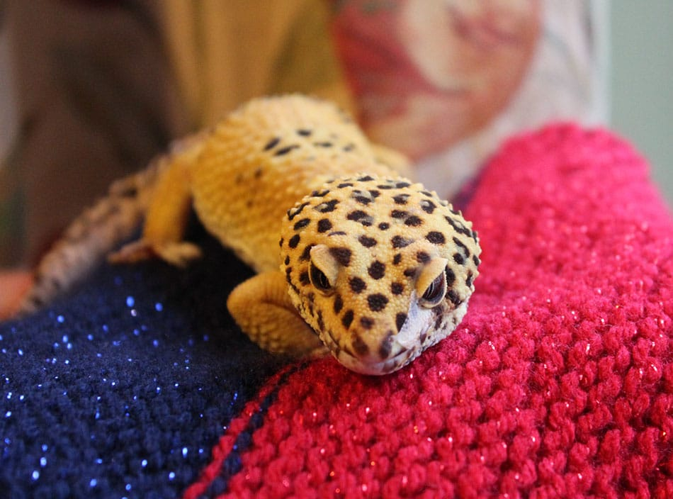 Izzy whizzy gecko pet rehoming