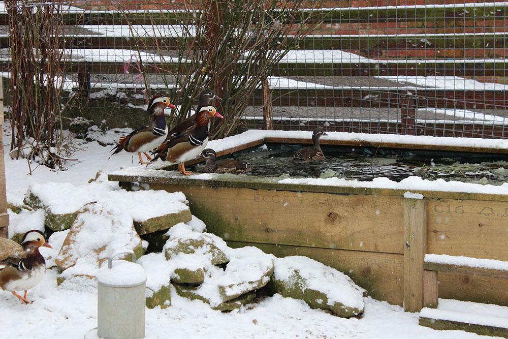 Ducks love the snow