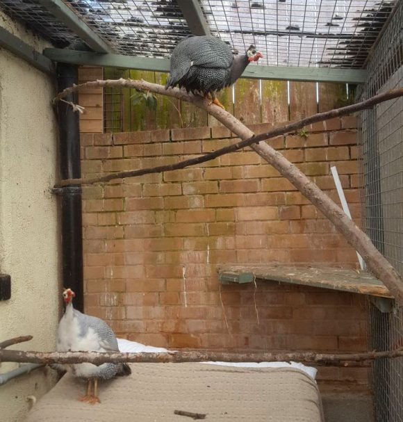 A Pair of Guinea Fowl