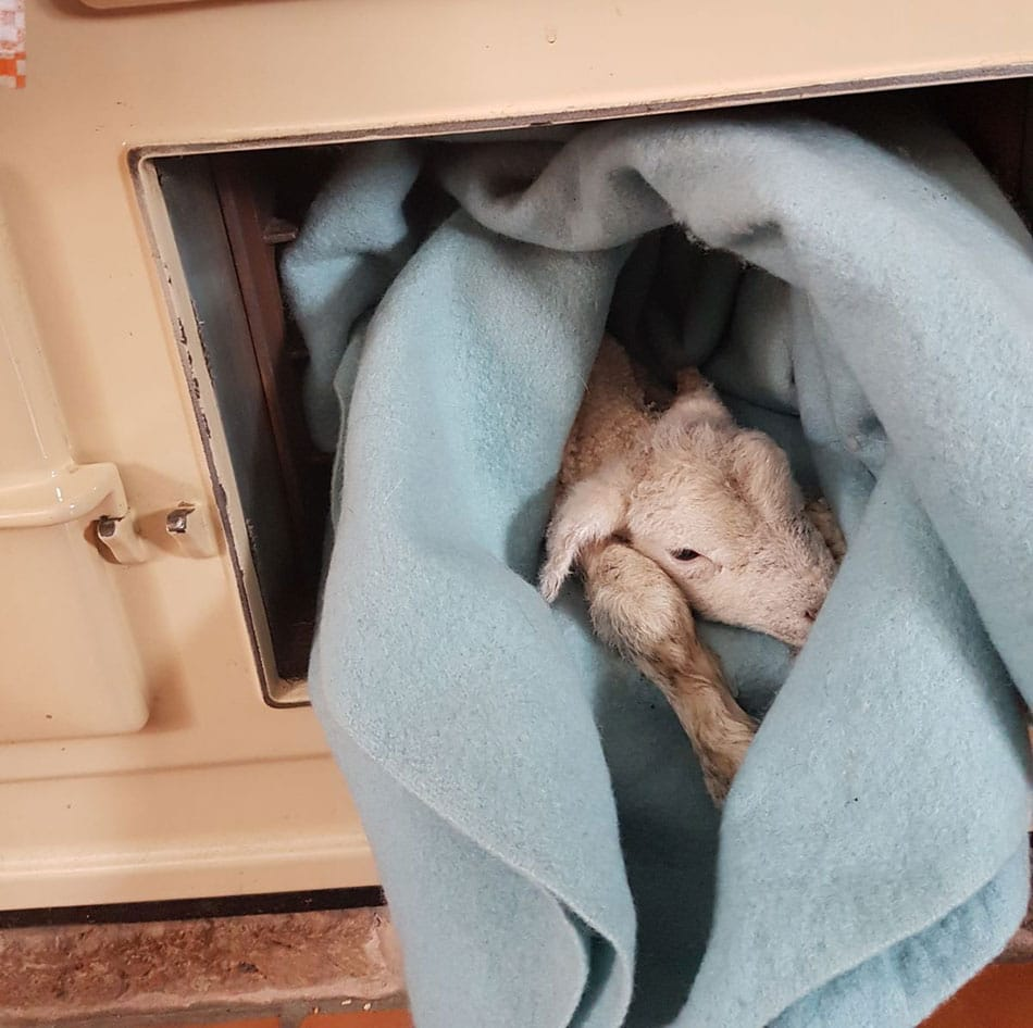 Lamb in oven