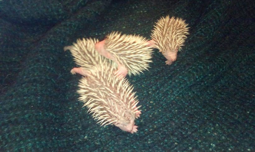 Tiny Baby Hedgehogs and a wee stoat named Stitch