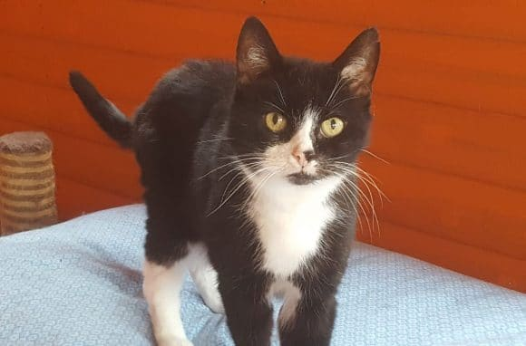 Felix Cat for Adoption