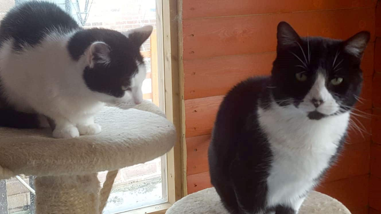 Itchy and Scratchy Two Cats for Adoption