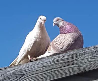 Snowy the white dove