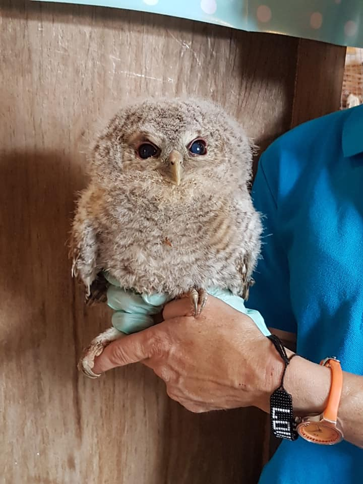 percy baby tawny owl at the wildlife rescue