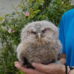 Miracle of baby tawny owl rescued at cemetery