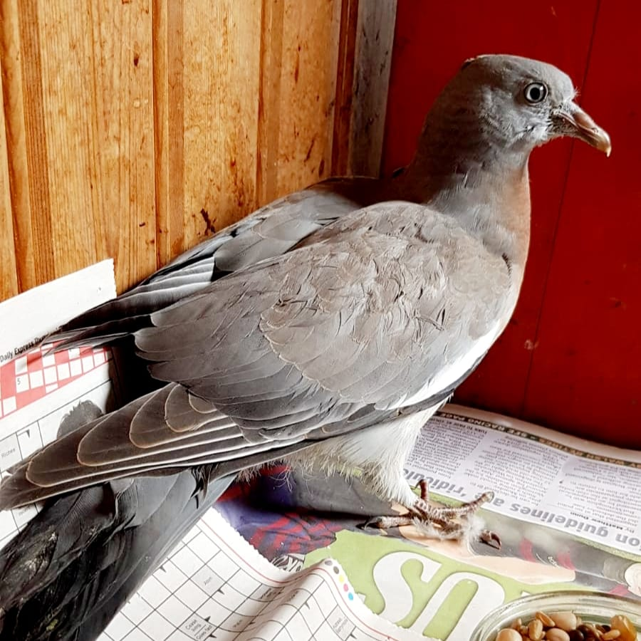 Pigeon that can't fly