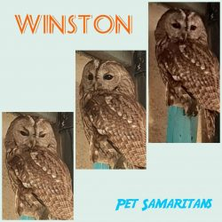 WINSTON the Tawny Owl Doing Well