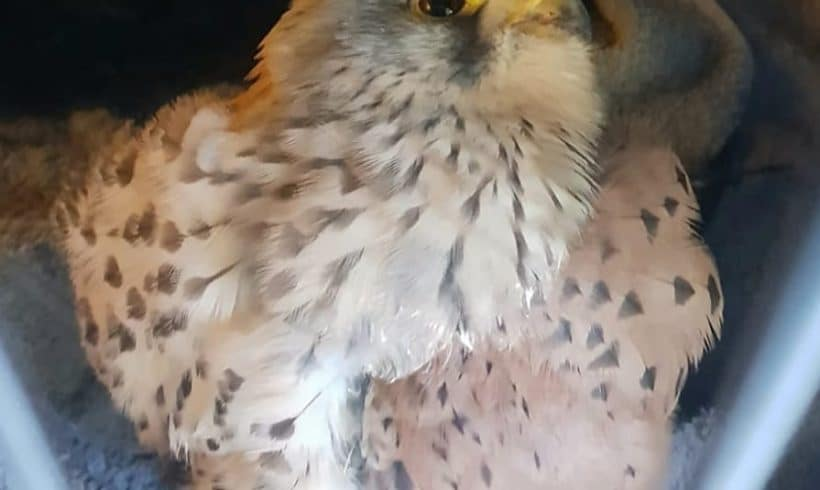 Kestrel found stunned and dazed