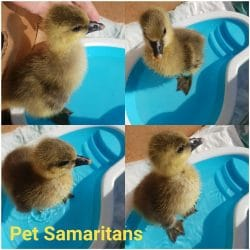 DUCKLING NEWS AT FIVE…