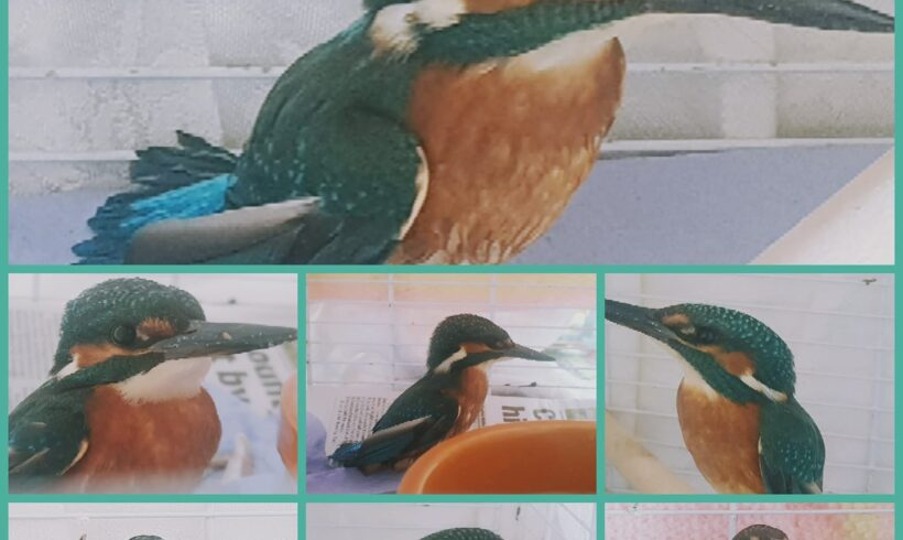 Flash the KingFisher is recovering after injury