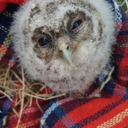 LOOBY LOU THE TAWNY OWL