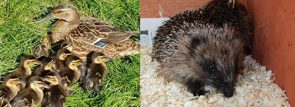 Ducks and hedgehogs brought into the wildlife rescue centre