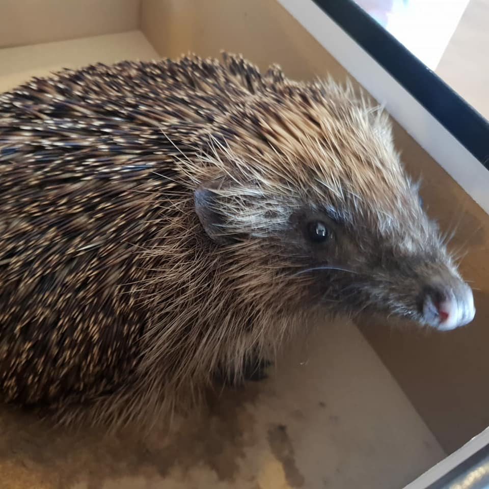 British hedgehog rescued by Wildlife Angels