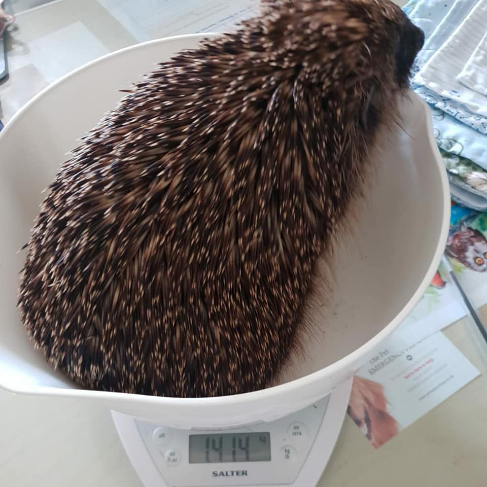 help us care for hedgehogs like James Pond at our wildlife hospital