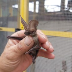 Long eared bat at wildlife hospital